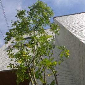 デザイン住宅に似合うシマトネリコの植栽工事 姫路市I様邸
