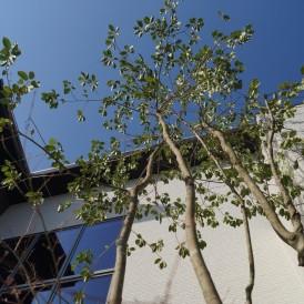 姫路市庭工事|新社屋のシンボルツリー植栽工事