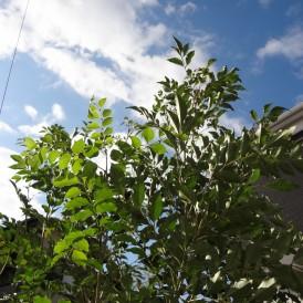 シマトネリコとレットロビンの生垣の植栽 姫路市U様邸
